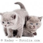 set of little sitting british shorthair kittens cat isolated