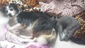 Britisch Kurzhaar Katze und Hund