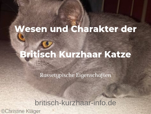 ⇒ Britisch Kurzhaar Katze - Charakter und Wesen | Britisch-Kurzhaar ...