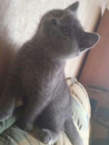 BKH Kitten auf dem Sofa