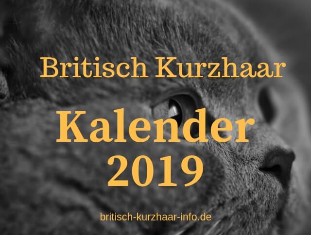 BKH-Katze mit Text: Britisch Kurzhaar Kalender 2019
