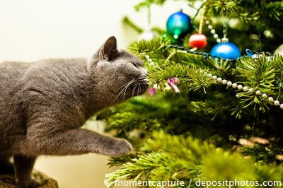 Sichere Weihnachten Mit Katze Britisch Kurzhaar Info